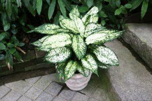 ハーブ観葉植物